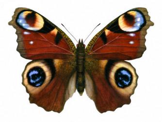 Motyl rusałka pawik (rusałka pawie oczko)