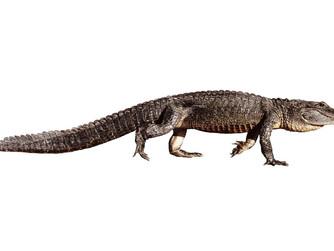 Aligator amerykański