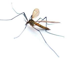 Komar brzęczący