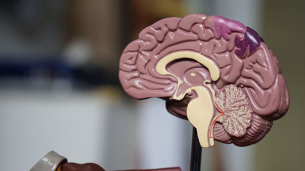 A model of a brain illustration the importance of how the brain work in those experiencing reading difficulties.