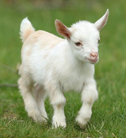 Lovely white baby goat running on grass, New England, USA_edited.jpg