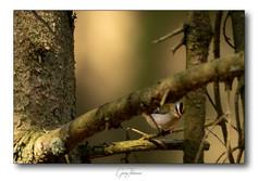 Brandkronad-kungsfågel
