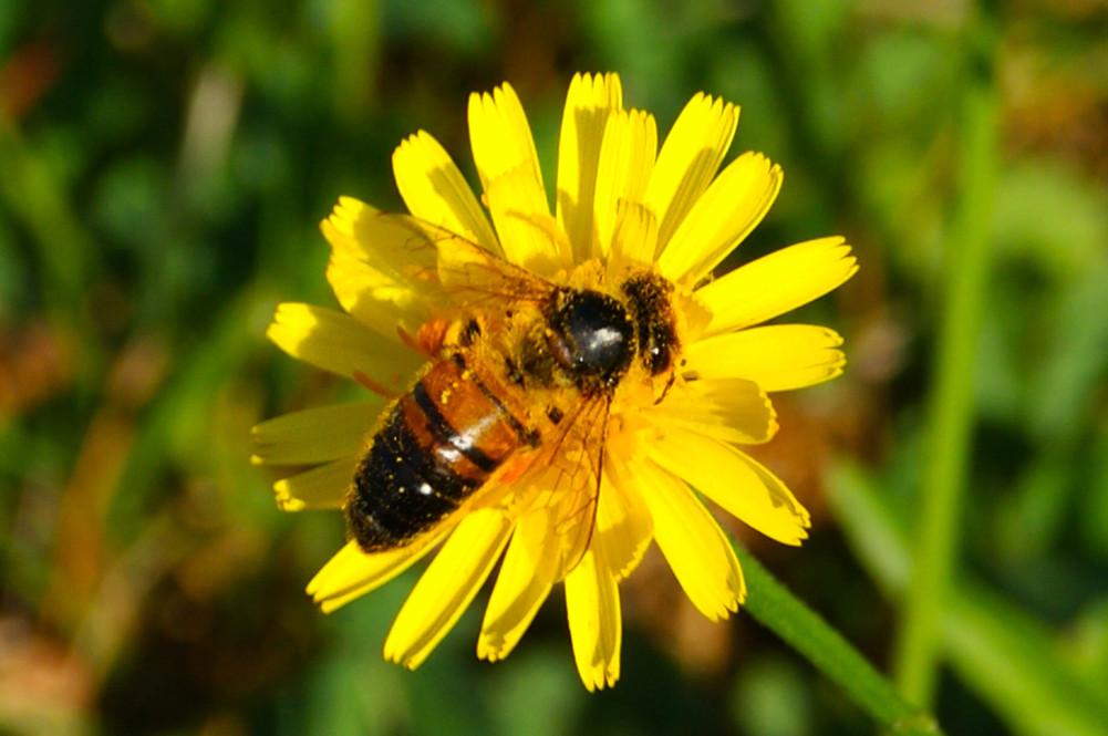 Bees & Dandelions 5.jp