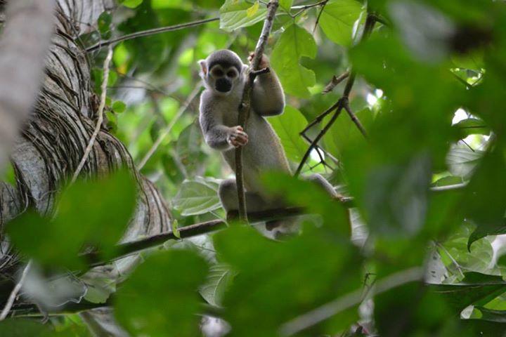 Monkey, Coca, Ecuador