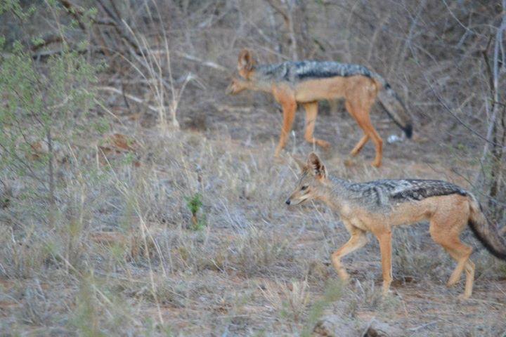 Jackal pack, Namibia