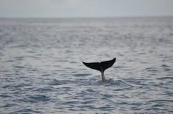 Dolphin fluke, Kisite-Mpunguti