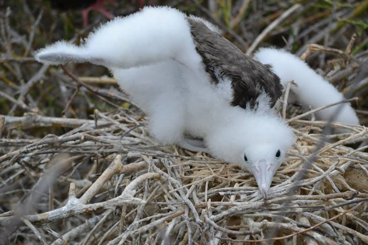 Baby frigite bird, Galapagos