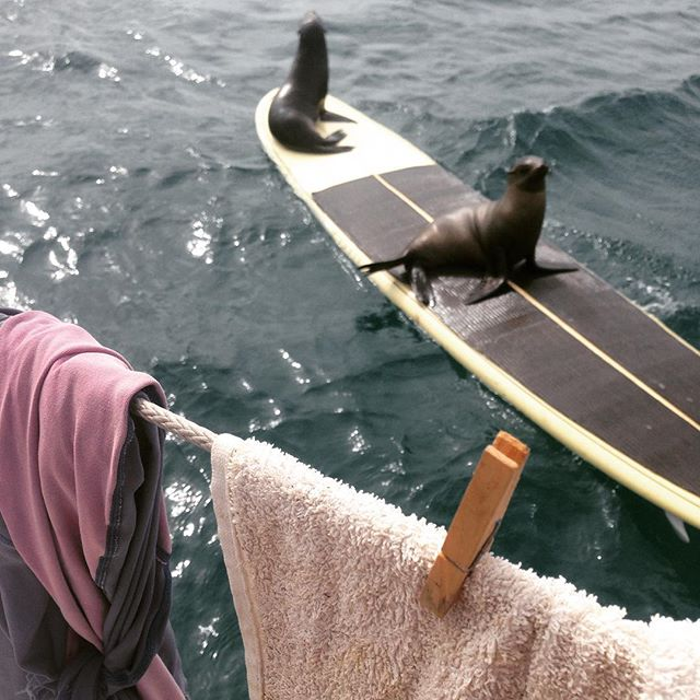 Galapagos sea lions on paddleboard