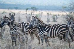 Zebra, Tsavo East, Kenya