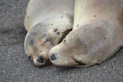 Galapagos seal lion