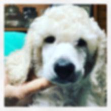 💖 Baby Woodruff 💖 #standardpoodlebaby