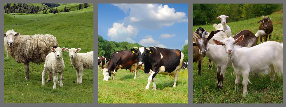 ch-misc-sheep-cow-goat-0.jpeg