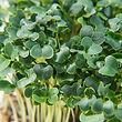 Kale Microgreens.jpg