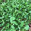 Microgreen Peas!.jpg