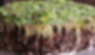 mustard-white-ice-microgreens-wm_700_800