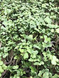 Broccoli Microgreens.jpg
