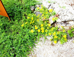 Blumen im Steingarten