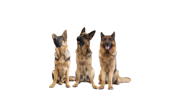 three-german-shepherds-white-background-