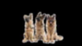 three-german-shepherds-white-background-