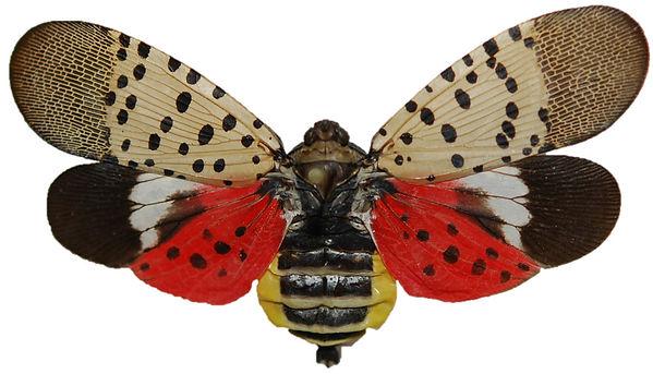 spotted_lanterfly.jpg