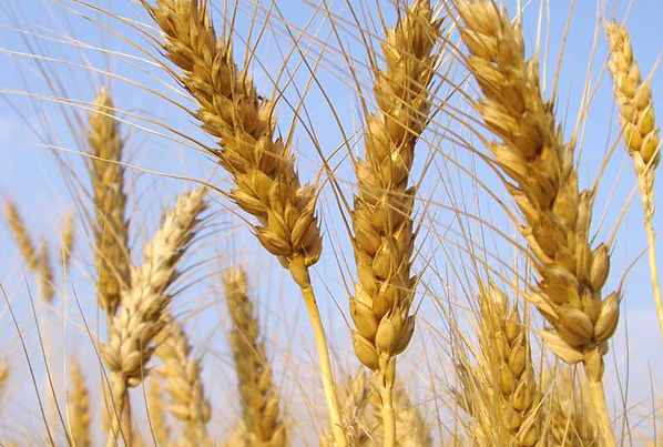 Talos de trigo