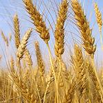 Tiges de blé