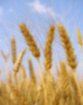 Stalks of Wheat