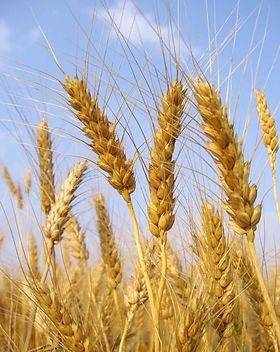 Tallos de trigo