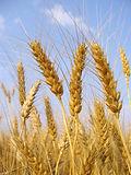 Стебли пшеницы