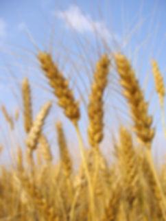 Espigas de trigo maduras na plantação