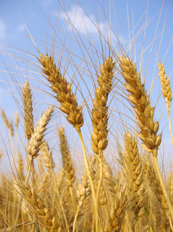 We use only locally sourced grains from right here in the heart of California in our products.