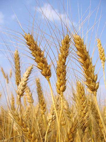 Getreide Ähren Gerste