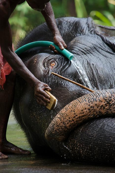 Elephant trainer washing elephant in kerala