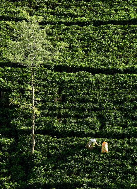 Tea plucker at work in plantation.