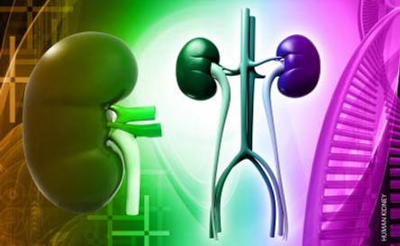 Kidneys, Bladder, Urinary Tract, Urethra