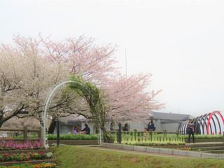 せんだい宇宙館(寺山公園)桜満開