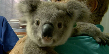 koala-hospital.jpg