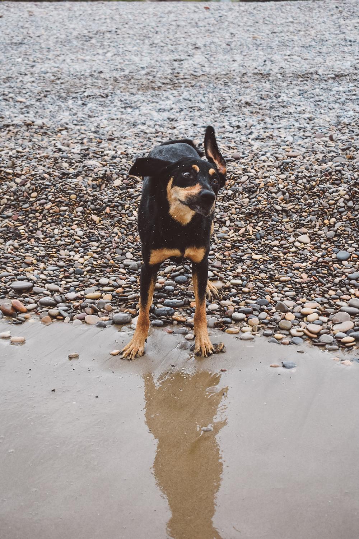 Ollie enjoying the beach