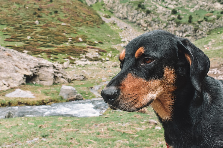 Dog in the Pyrenees