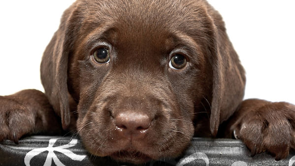 1534-dog__sad_chesapeake_bay_retriever_p