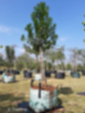 Pepper-bark tree for sale in 200L | Warburgia salutaris