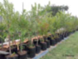 River bushwillo for sale | Riviervaderlandswilg | Combretum erythrophyllum.jpg