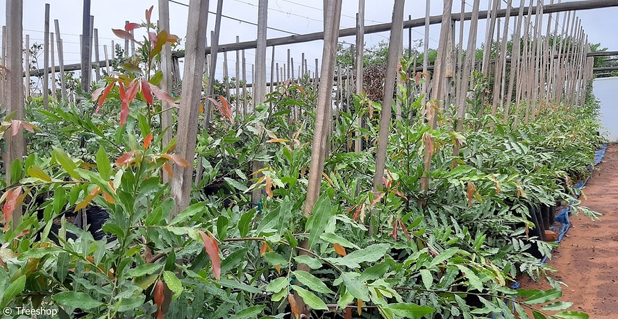 Jackal-berry for sale | Jakkalsbessie boom | Diospyros mespiliformis.jpg