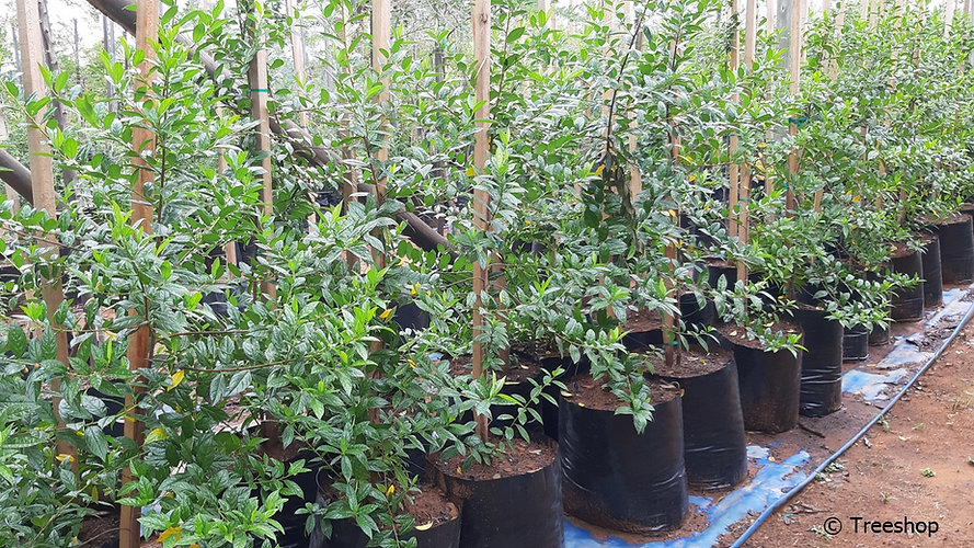 Shiny-leaf for sale | Blinkblaar | Rhamnus prinoides.jpg