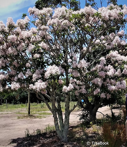 Calodendrum capense   Cape chestnut   Flowering tree   hardy