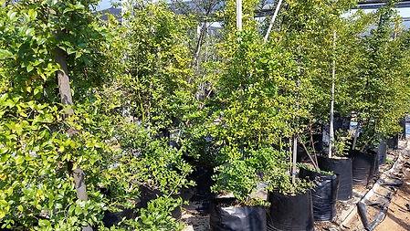lemoentjiedoring te koop | Cassinopsis ilicifolia in 50L