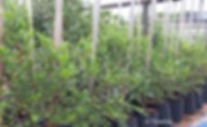 Bladder-nut for sale   Swartbas   Diospyros whyteana.jpg