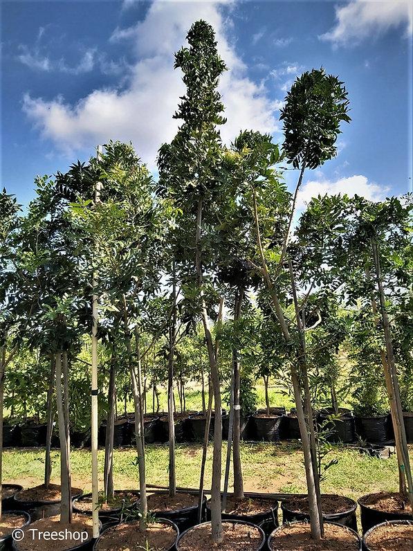 Wildepruim te koop | Wild-plum | Harpephyllum caffrum 100L C.jpg