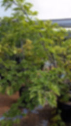 Umzimbeet tree for sale in 50L | Millettia grandis