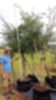 Monkey thorn for sale | Senegalia galpinii in 100L